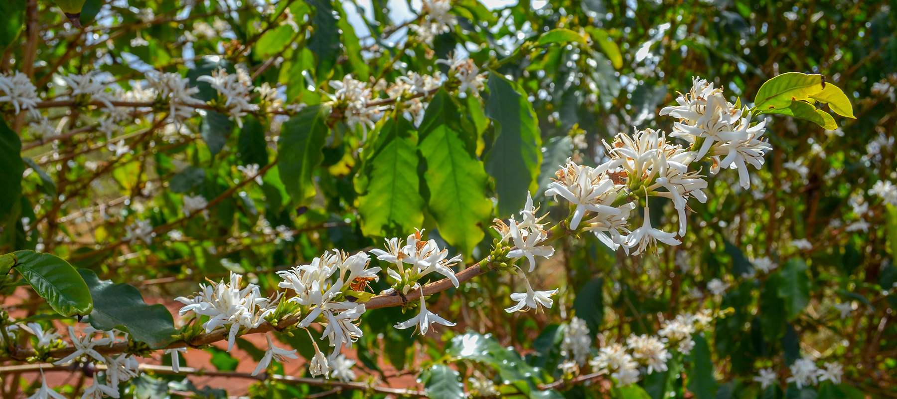 Kauai Coffee Blossoms on Display March to May