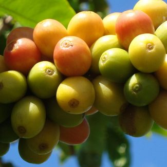 red, yellow and green kauai coffee cherries on a branch