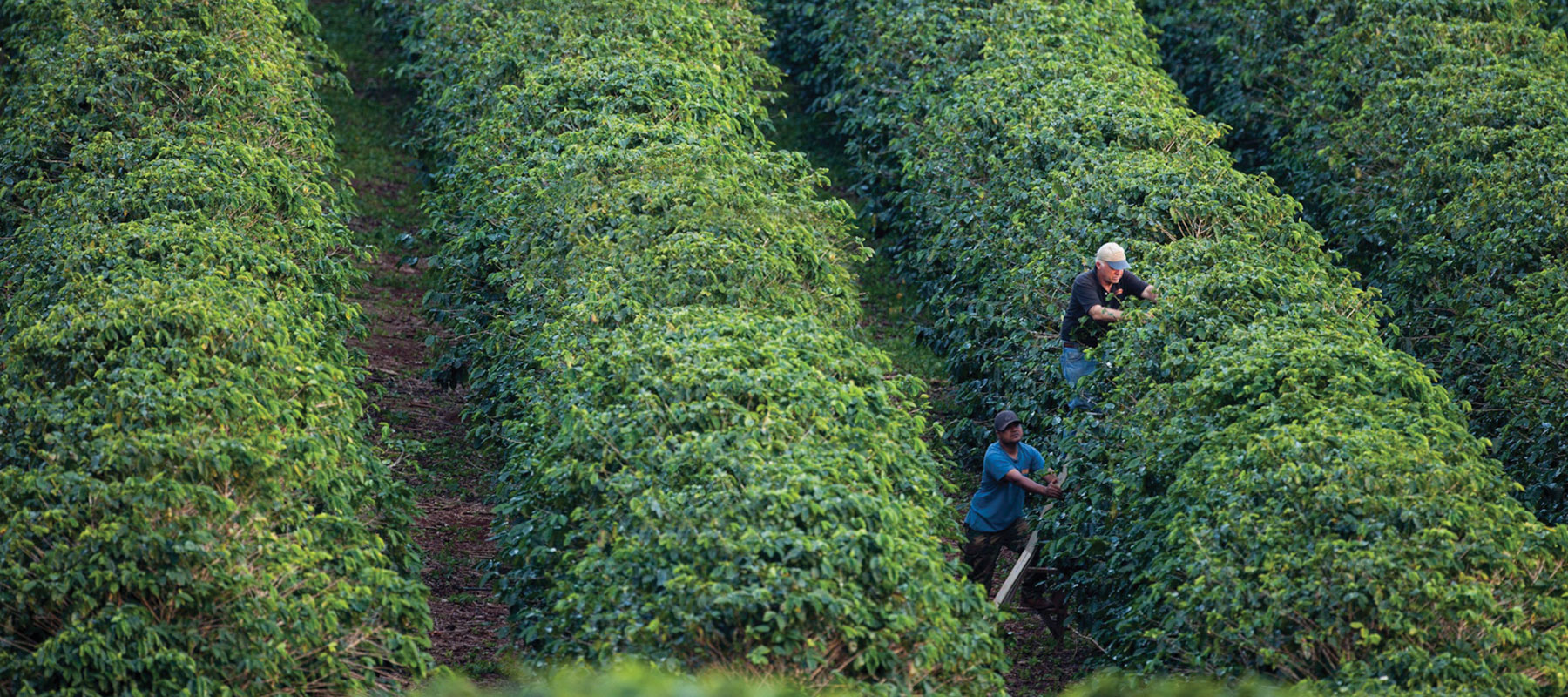 two employees in the kauai coffee orchard