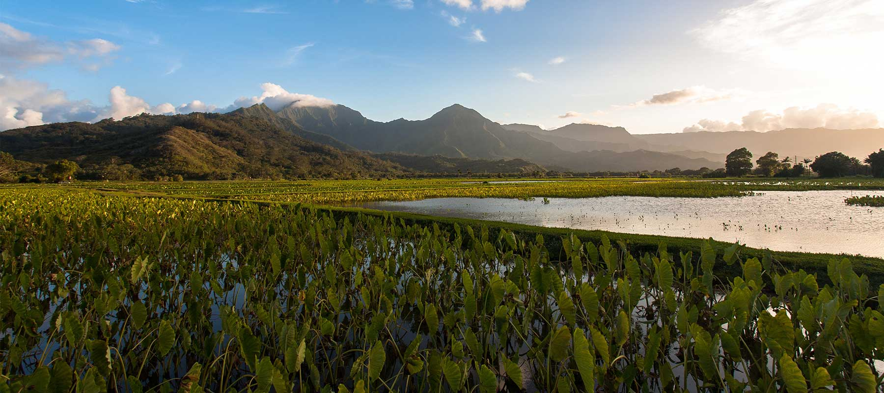 Hanalei valley once home to Kauai first commercial coffee farm, grows taro today