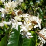kauai coffee trees with bees visiting the blossoms