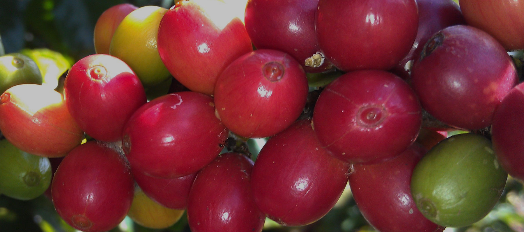 Kauai Coffee Receives Non-GMO Project Verification