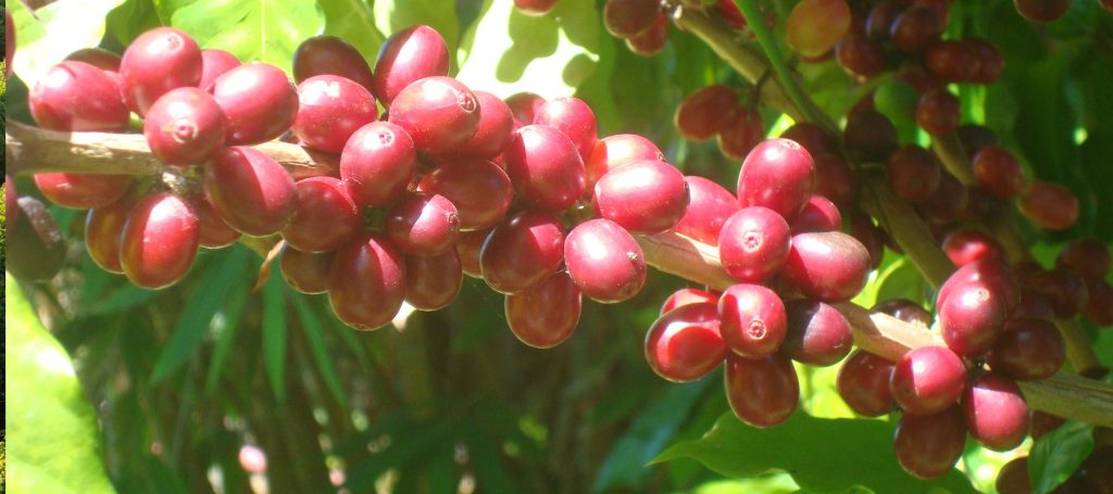 red coffee cherries on a tree at Kauai Coffee