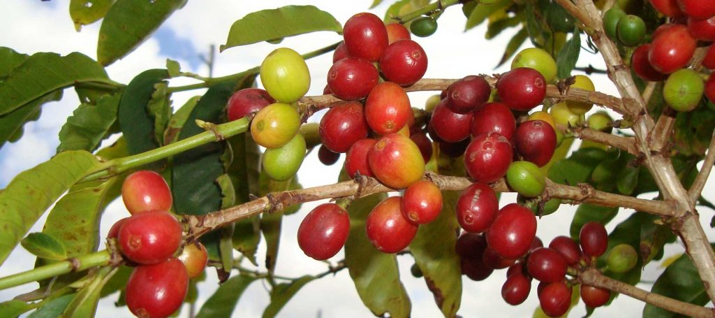 red and green kauai coffee beans on the branch