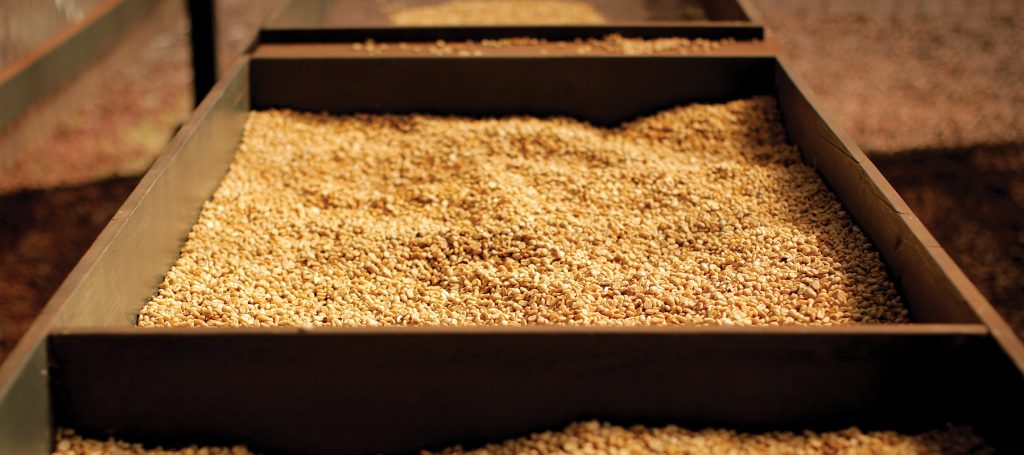 Kauai Coffee beans drying in container racks