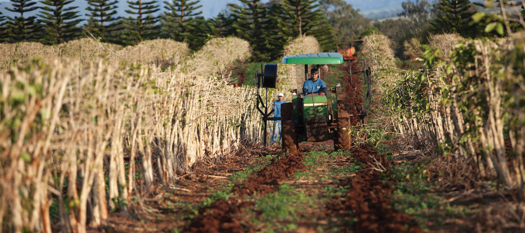 kauai coffee farmer tends to soil in the coffee orchard.